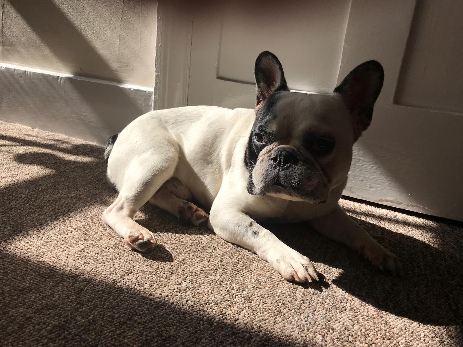 French Bulldog Is Perfect Example Of Problems Facing Designer Dogs Pets Magazine