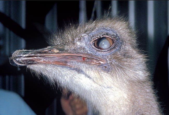 Luxated cataract lens in the ostrich