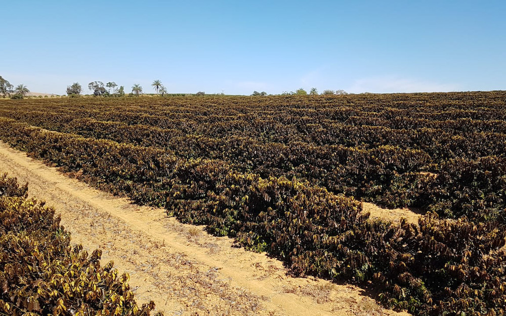 damaged coffee trees brazil
