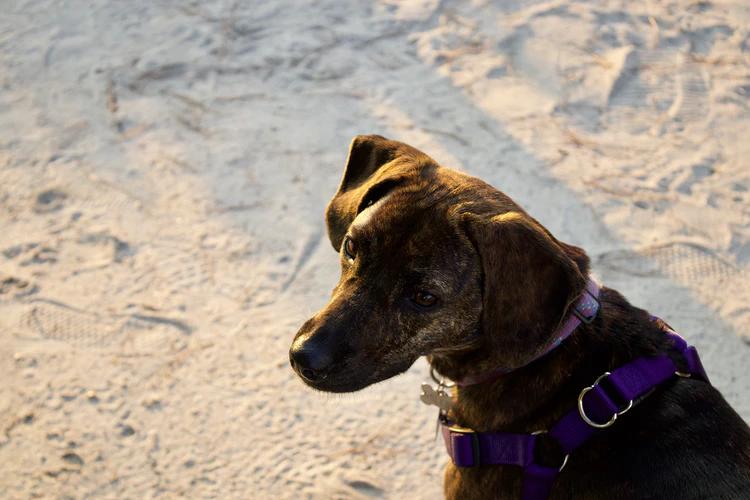 Dog on Virginia Beach.