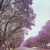 Phượng tím ( Jacaranda mimosifolia , JAC00093 )