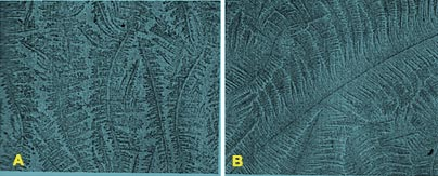Atypical (A) and typical (B) fern patterns of cervico vaginal mucus in buffaloes.