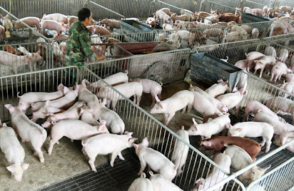Business Plan For Small Scale Pig Farming