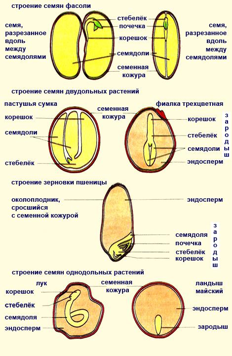 Однодольные семена с эндоспермом