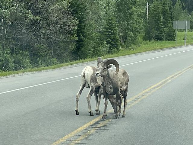 Bighorn sheep can look a little mangey at times