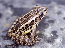 Lithobates palustris – Pickerel Frog | Vermont Reptile and ...