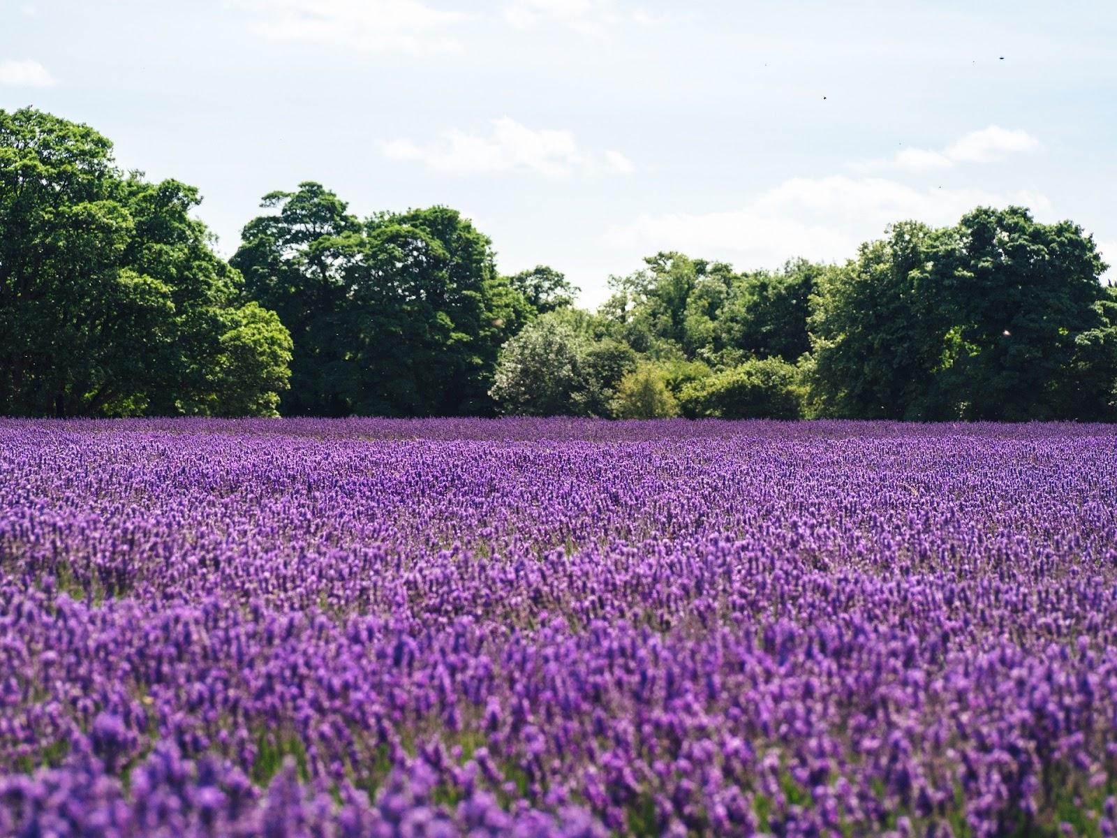 Weide van lavendel