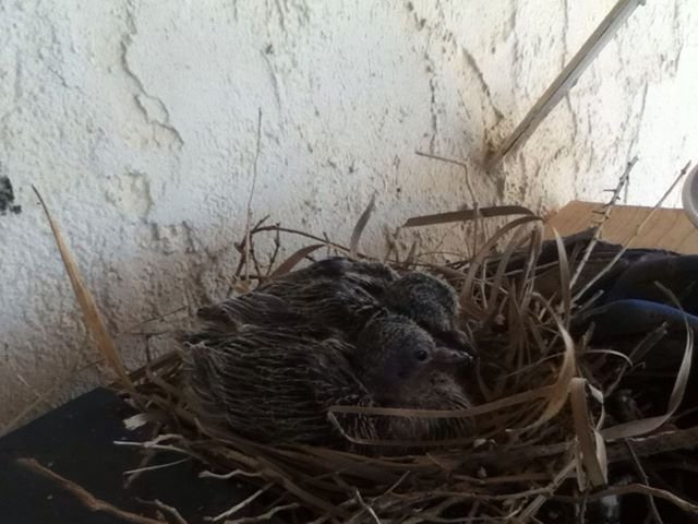 'The two baby doves are growing up fast :)'