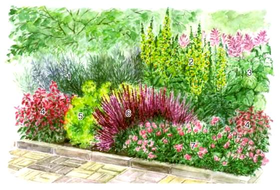 шалфей, цветник с шалфеем, цветы для сада,план цветника