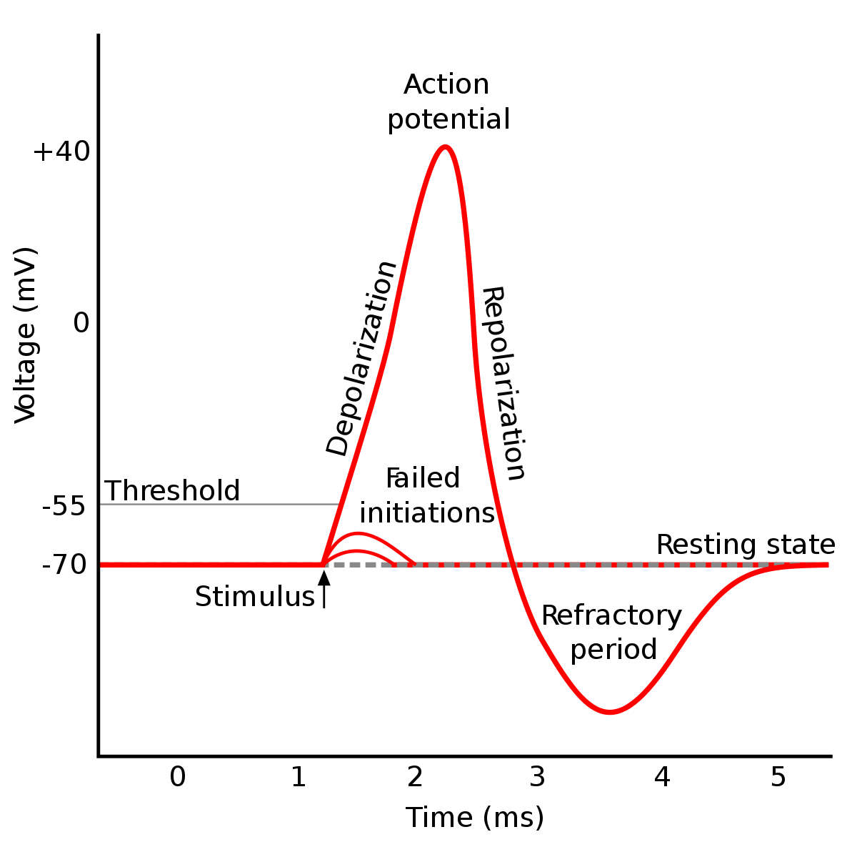 action potential graph에 대한 이미지 검색결과