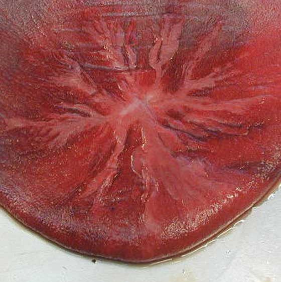 Because the outer, or chorionic, surface is covered with small tufts of villi (microcotyledons), the outer chorionic surface of the chorioallantois has a uniform velvety appearance as shown in this view of the chorionic surface of the chorioallantois.
