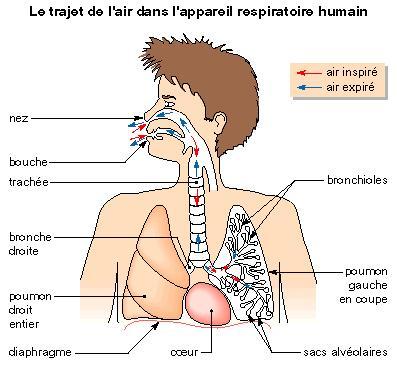 L'approvisionnement du sang en oxygène | Les épreuves du CRPE ...