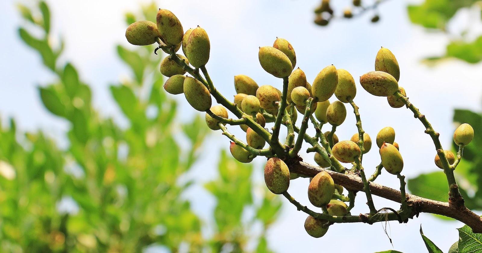 Cultivos rentables: El Pistacho