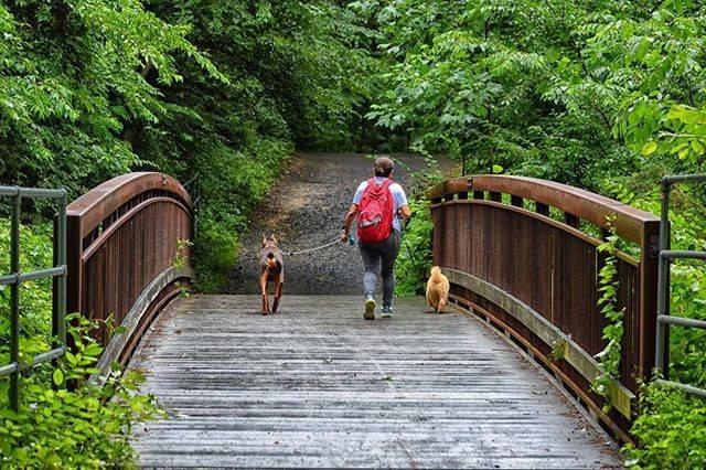 Hiker walking dogs in Lake Accotink Park in Springfield, VA