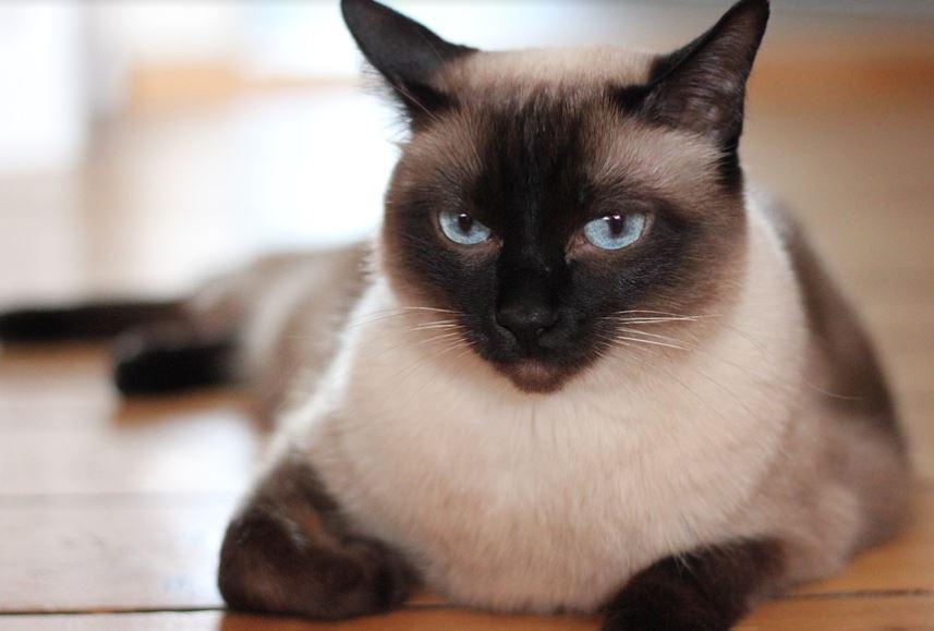 Mèo Xiêm lông dài rất được yêu thích