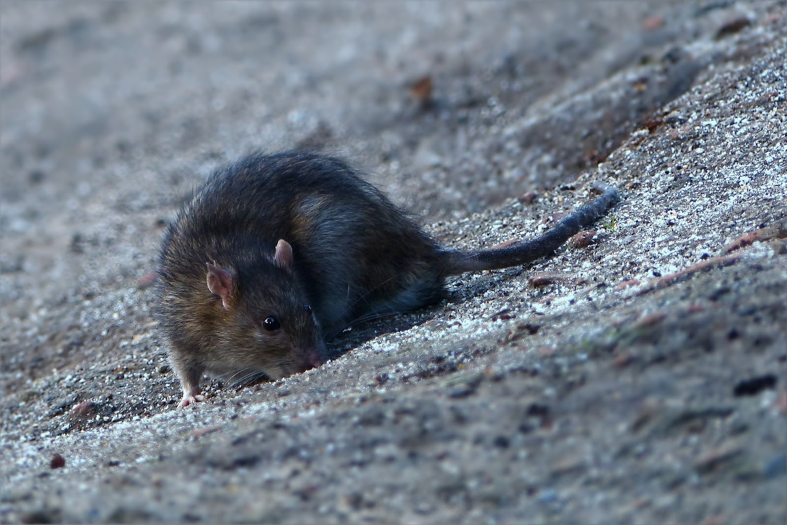 Digging is a rat specialty; the rodents often use this talent not only to gather food, but also to burrow under plantings, such as trees and shrubbery.