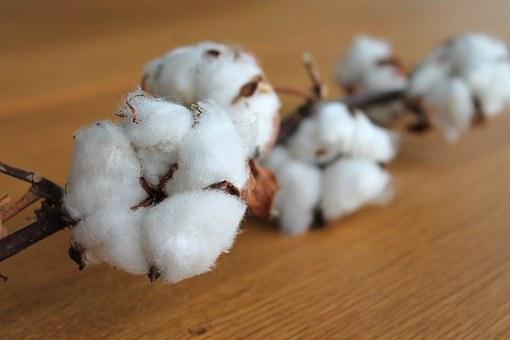 cotton-branch-1271038__340.jpg