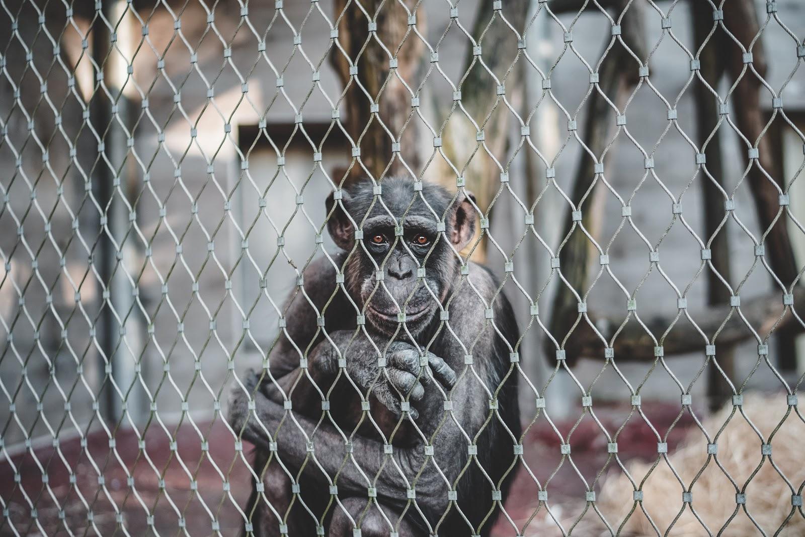 Chimpanzee shot through a fence at a zoo