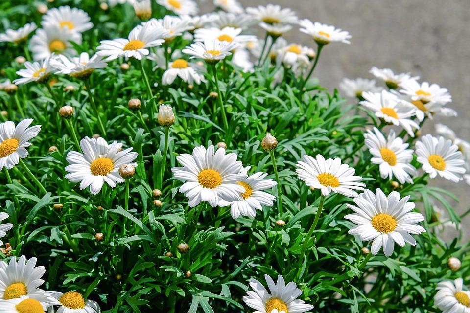 daisies-1373075_960_720.jpg