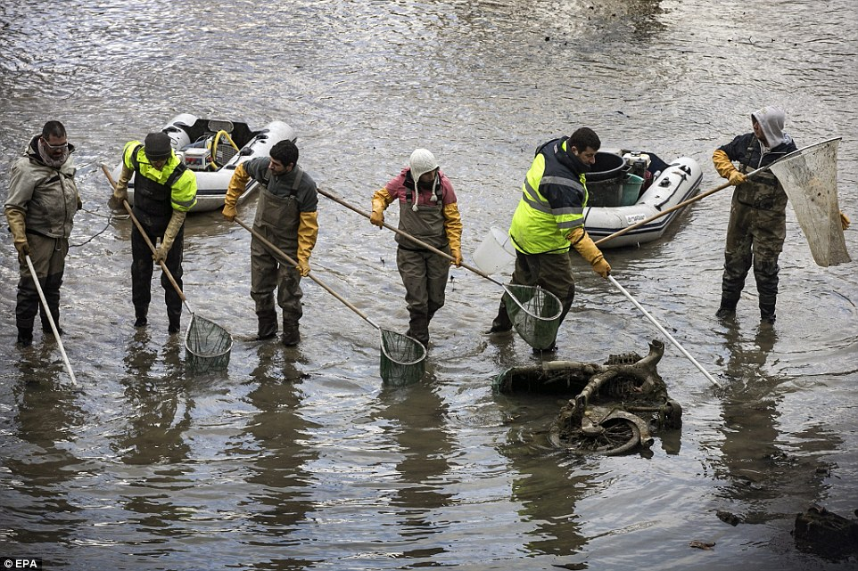 團隊合作:員工們抓著網子把被困在排水渠裡的魚都救起來,把魚搬到新家