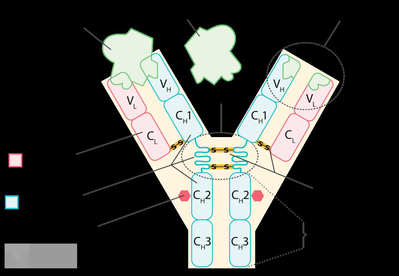 IgG Antibody Structure