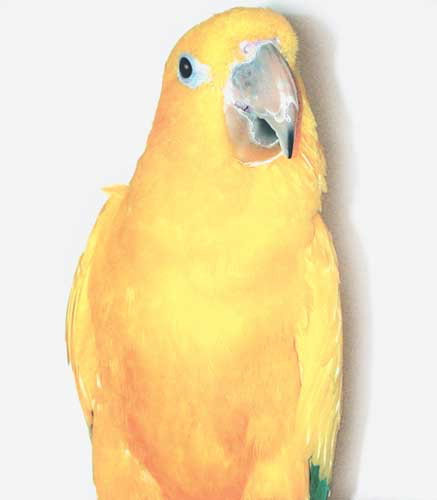 The Endangered Species Act forbids the keeping of Queen of Bavaria conure for commercial purposes