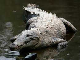 Description: Crocodylus acutus .jpg