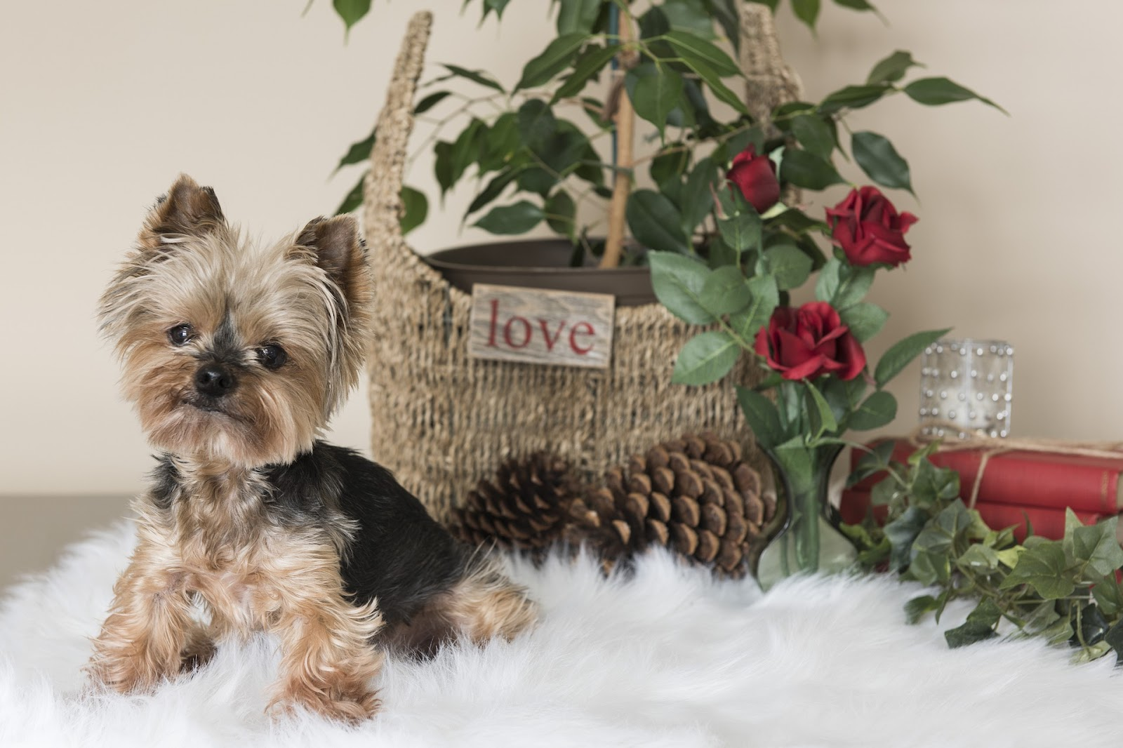 cute small brown dog next to pine cones, basket, roses, and on white rug, holiday theme