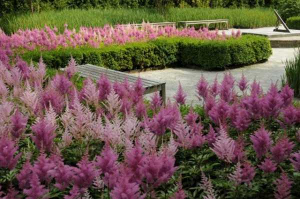 красивый вид в саду  (астильбы)