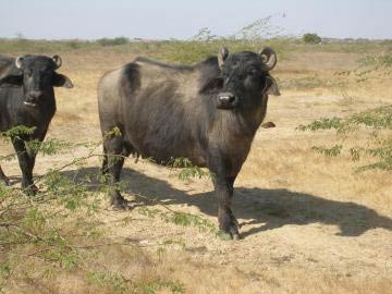 Effect of the dry season with low pasture supply on body condition score in female buffaloes raised in an extensive management system in tropical areas.