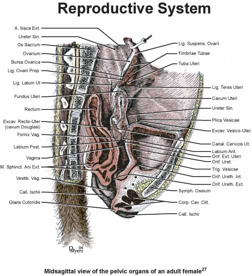 Midsaggital view of the pelvic organs of and adult rhesus female monkey [27].