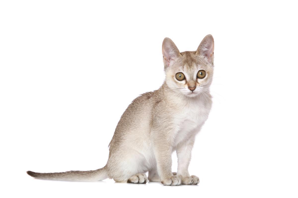 Mèo Singapura con