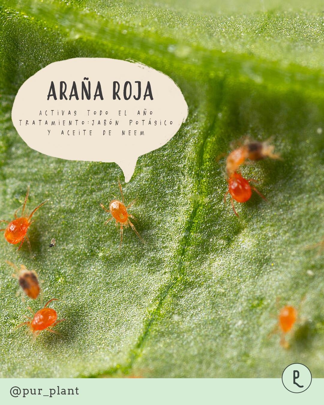araña roja plaga plantas