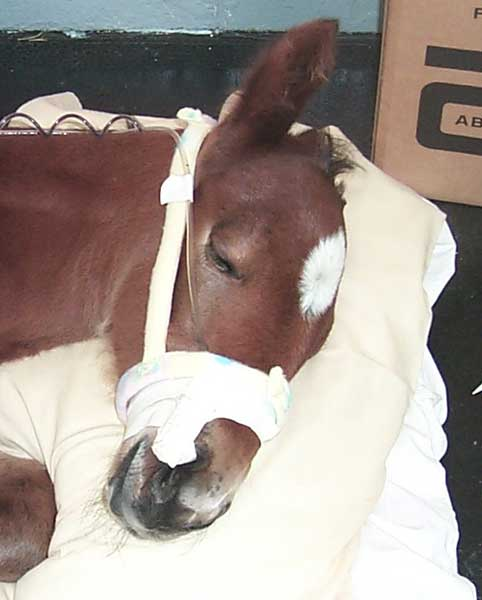 Foal receiving intranasal oxygen insufflation. Note that the intranasal cannula is taped in place rather than being sewn in place. This method of cannula attachment is well tolerated by the foal and changing the cannula is simplified.