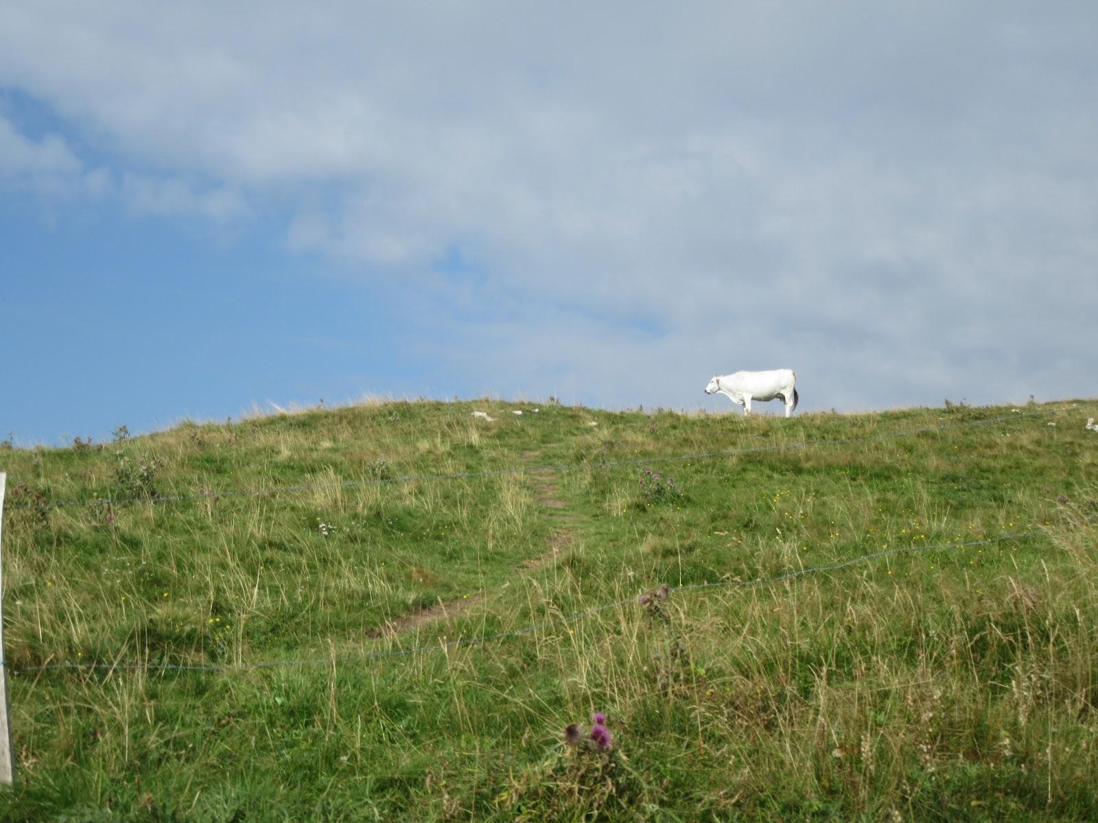 Bicycle climb of Monte Grappa - Cavaso del Tomba - cow on hill