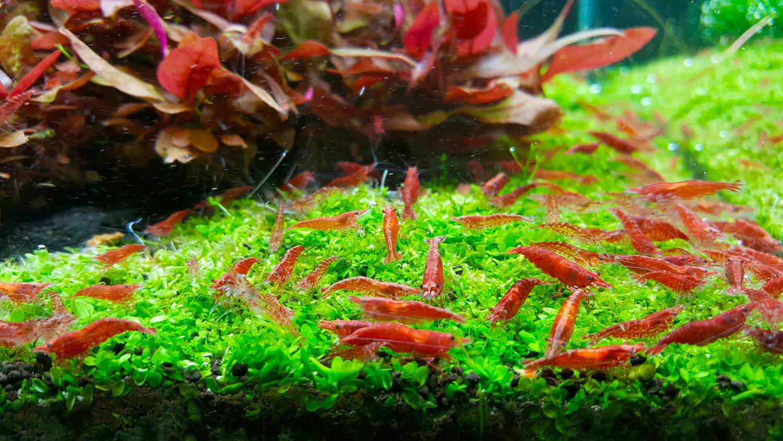 Setup A Red Cherry Shrimp Aquarium For $50 | Freshwater Central