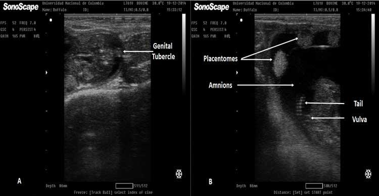 Figura 27A. Imagen ecográfica de un feto hembra de 68 días. El tubérculo genital (GT) es visible en un escaneo seccional cruzado del feto a nivel de la cola como una estructura hiperecoica. Figura 27B. Ecografía de un feto hembra de 90 días, se muestra en la parte de arriba el amnios y una serie de placentomas. Puede observarse debajo de la cola la imagen ecogénica de la vulva fetal.