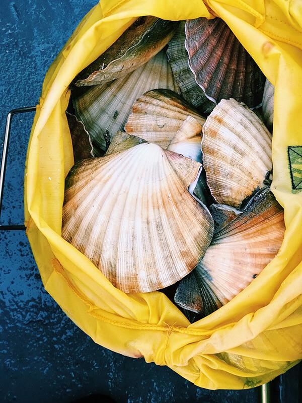 扇貝又稱帆立貝,因為打開的時候就像風帆展開一般。而帆立貝肉便是扇貝去殼後可食用的部分。