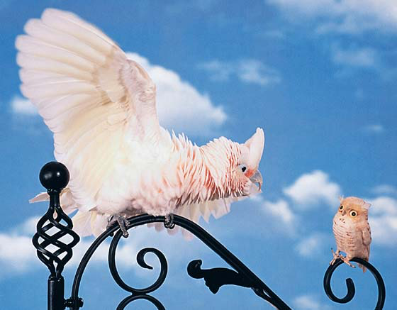 A perfectly feathered goffin cockatoo in a defense (attack) posture stimulated by the toy owl
