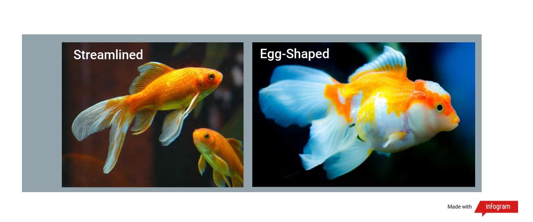 goldfish body type