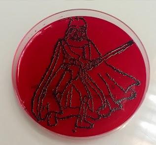 S.aureus sur Baird Parker + rouge de phénol