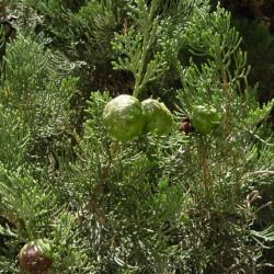 Image result for اشجار دائمة الخضرة