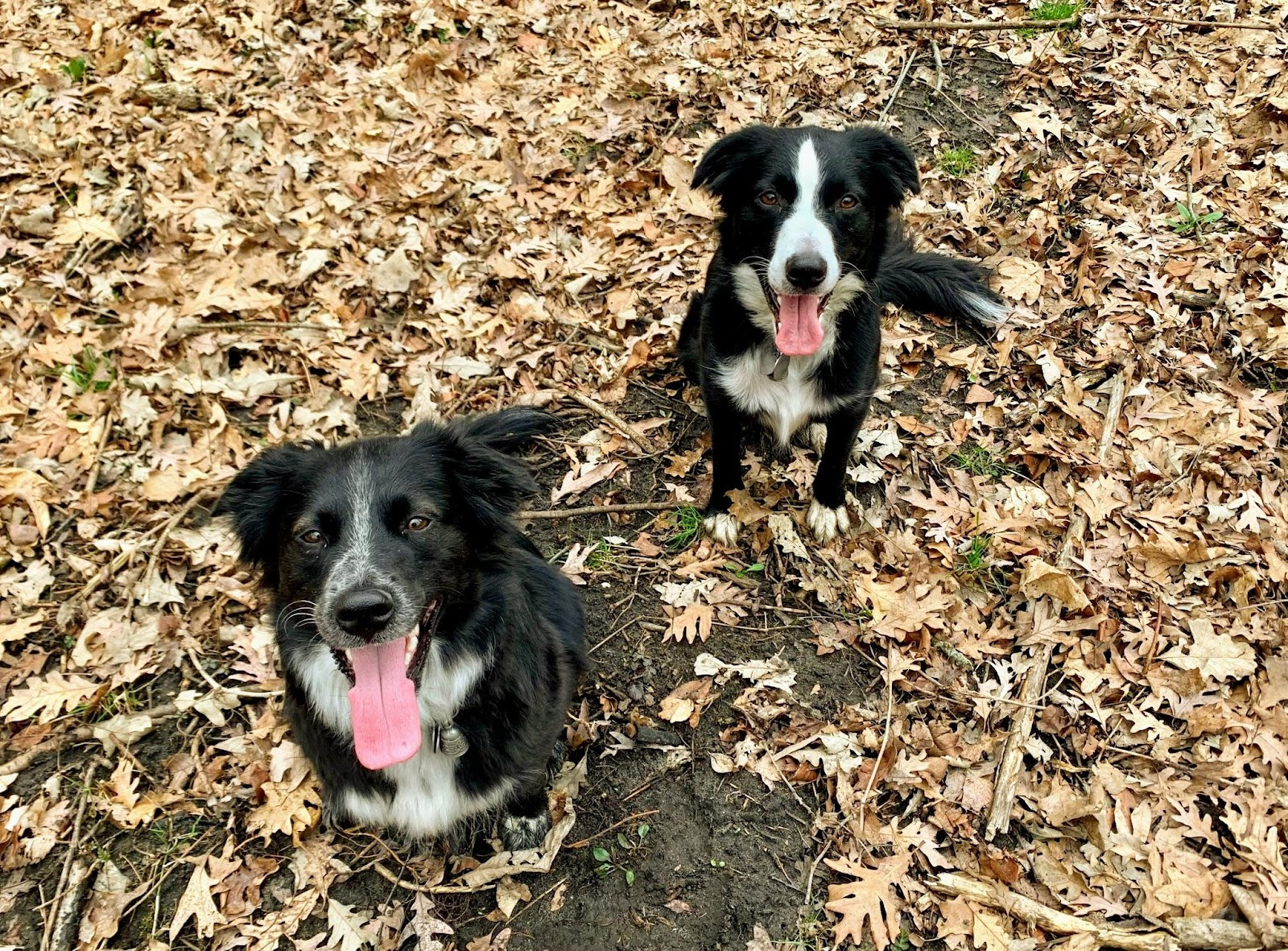 Two black and white dogs in the woods sitting at attention.