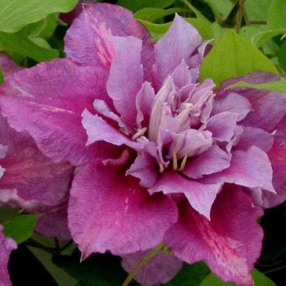 Цветок клематиса Piilu