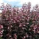 https://www.vitroflora.pl/img/produkty/rosliny/_137X137/penstemon-dark-towers_4.jpg