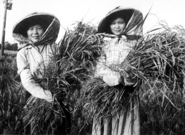 资料图:二期稻作丰收之后,喜上眉梢的农家女。
