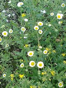Растение сада.Фото