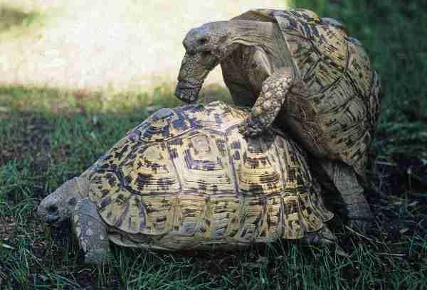 Image result for breeding leopard tortoise