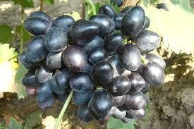 """Картинки по запросу """"виноград велика"""""""