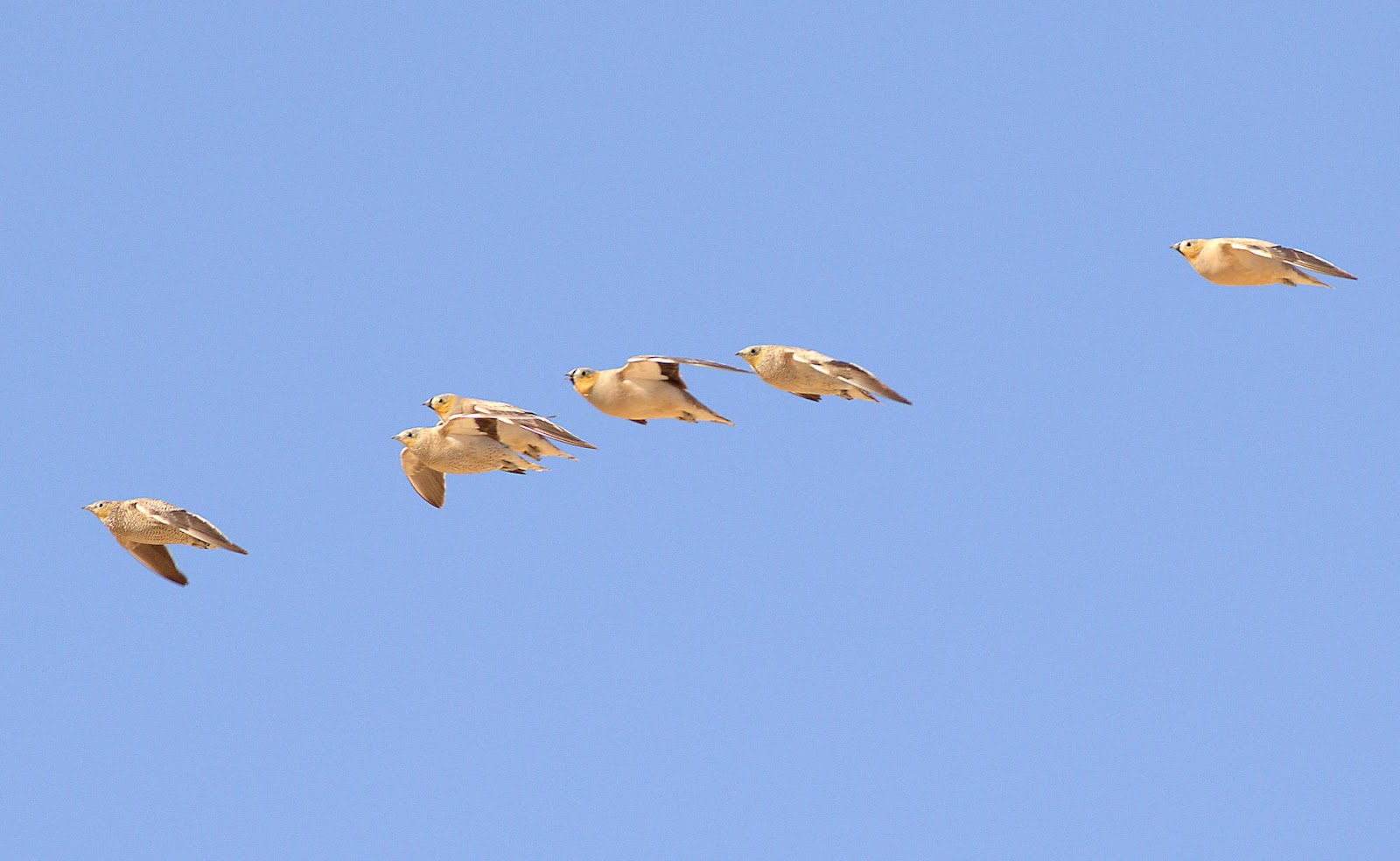 crowned sandgrouse 2_rsz.jpg